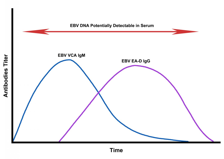 Dynamics of EBV Reactivation