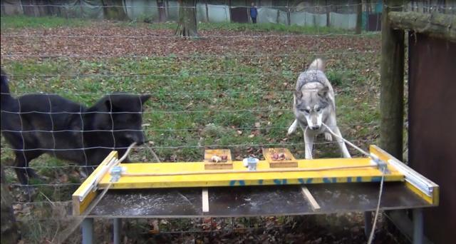 Wolves Pulling a Rope Together