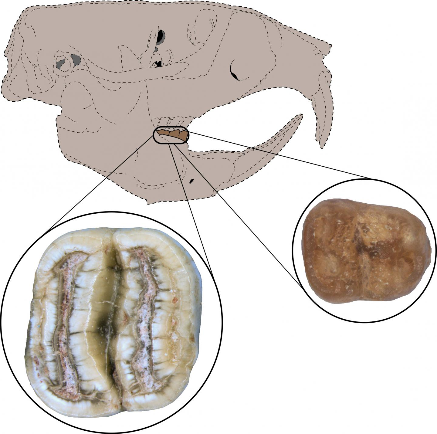 Teeth Are First Evidence of North American Rodents in Caribbean