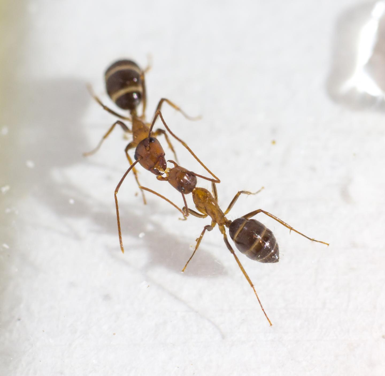 Trophallaxis in Carpenter Ants