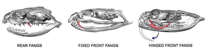 Types of venom fangs in snakes