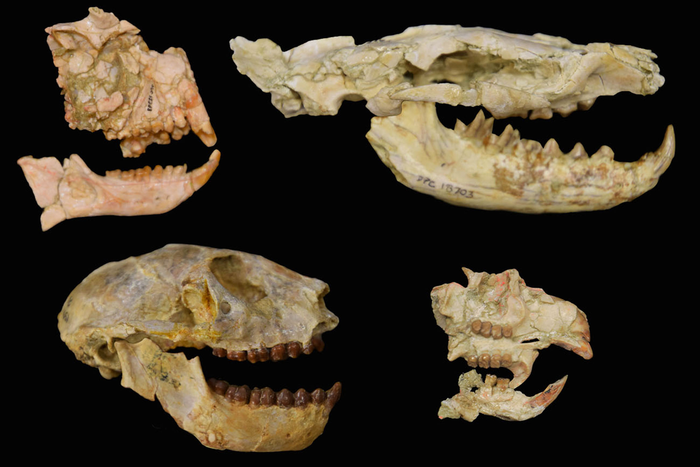 Fossils of African Fauna
