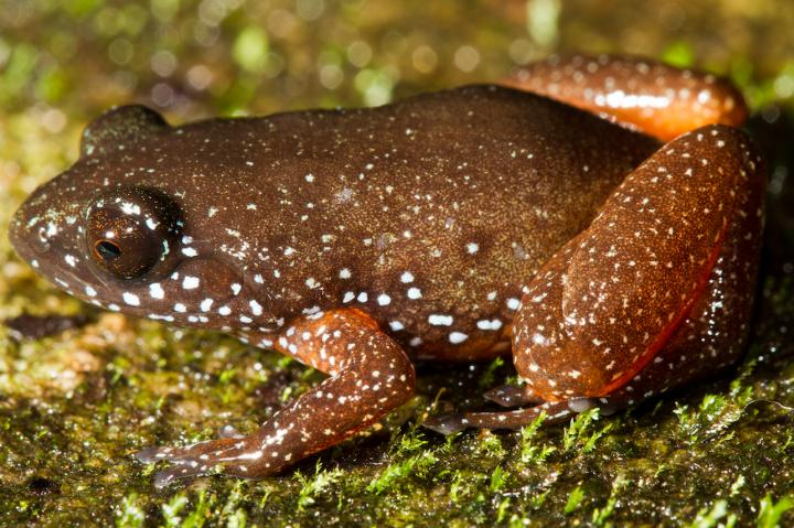 New Species of Frog Is Lone Member of Ancient Lineage