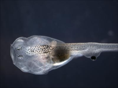 Tadpole Missing Its Native (Normal) Eye, but Has An Ectopic Eye in the Tail
