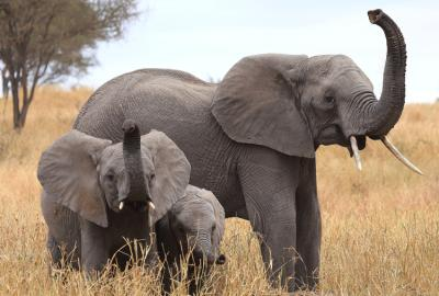 African Elephants Use Their Trunks To Smell Their Surroundings