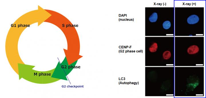 Figure 1. Cell cycle and autophagy induction after X-ray irradiation in human pancreatic cancer cells (MIA PaCa-2)