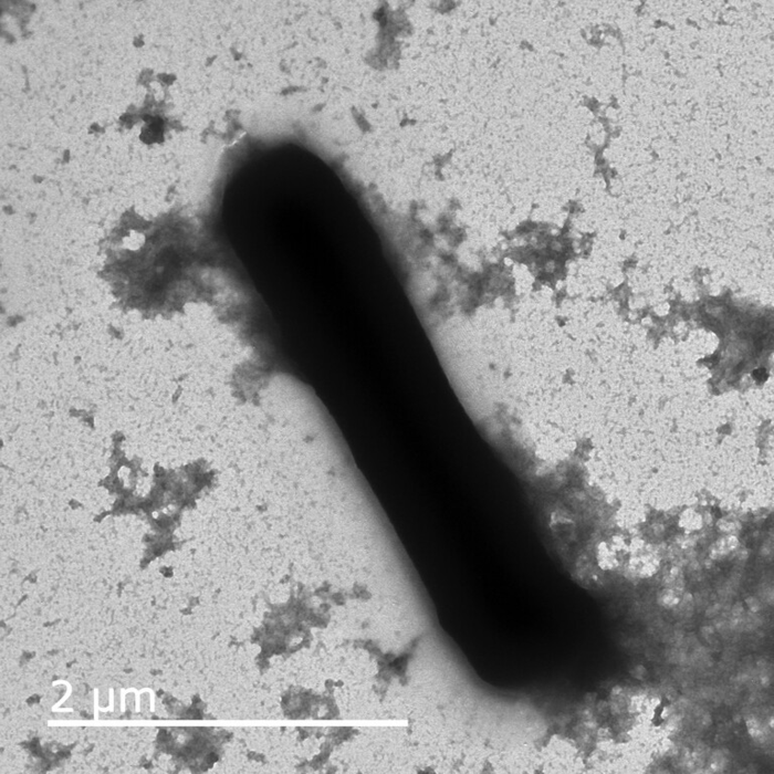 Bacillus micrograph