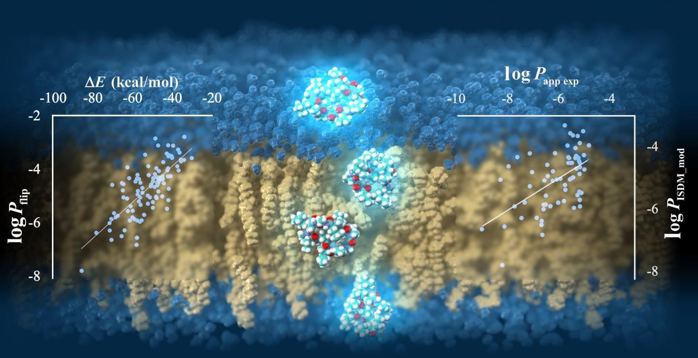 Cyclic peptides permeating through a lipid bilayer