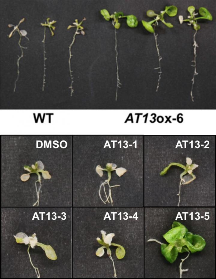 The AT13 Peptide Improves Salt Tolerance