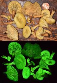 <i>Neonothopanus gardneri</i> (2 of 2)