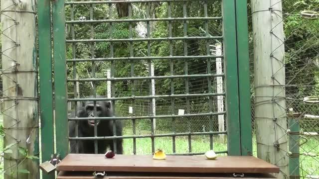 Bonobo Exhibiting Food Neophilia