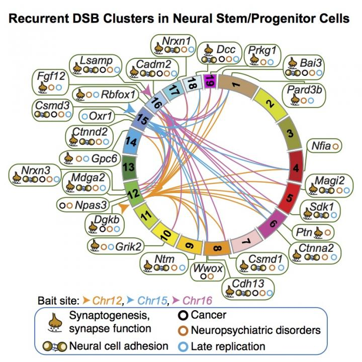 Recurrent DSB Clusters in Neural Stem/Progenitor Cells