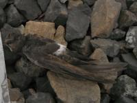 House Swift Found in BC, Canada