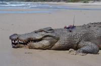 Estuarine Crocodile Ready for Release