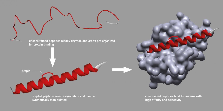 Peptide Stapling Graphic