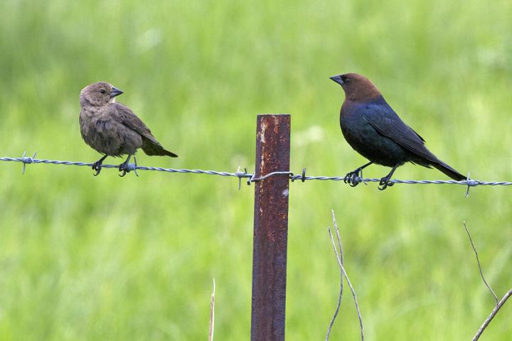Cowbirds on Wire