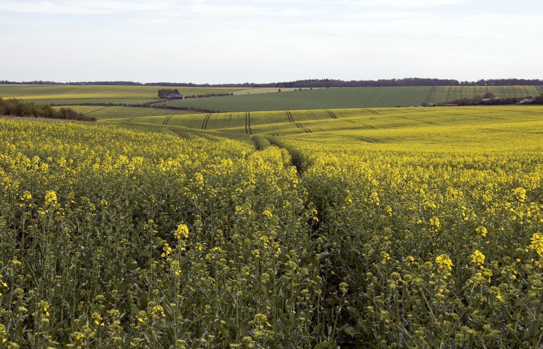 English Oil Seed Rape Field