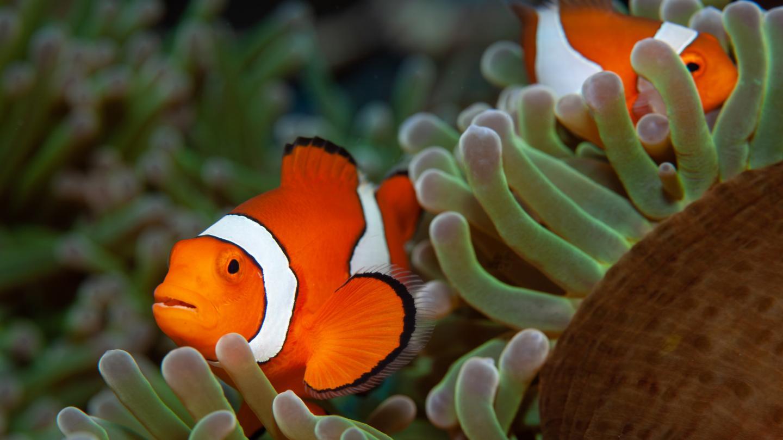 Clownfish/Anemones