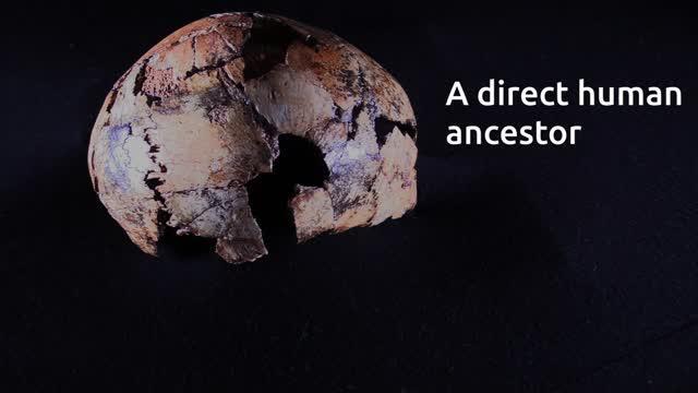Unboxing Oldest Human Ancestor Homo Erectus Fossil