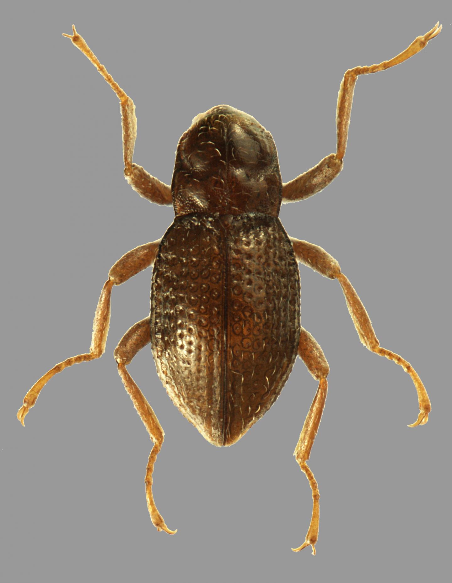 Adult of Podonychus gyobu sp. nov.