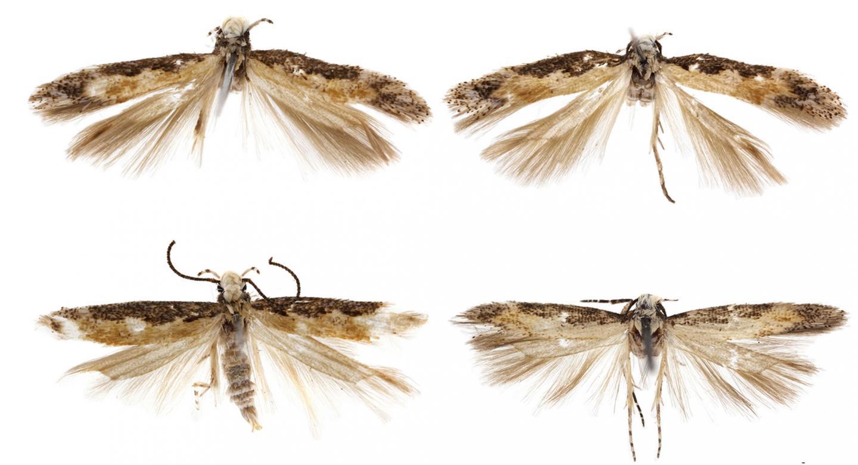 Adults of the New Species <em>Neopalpa donaldtrumpi</em>