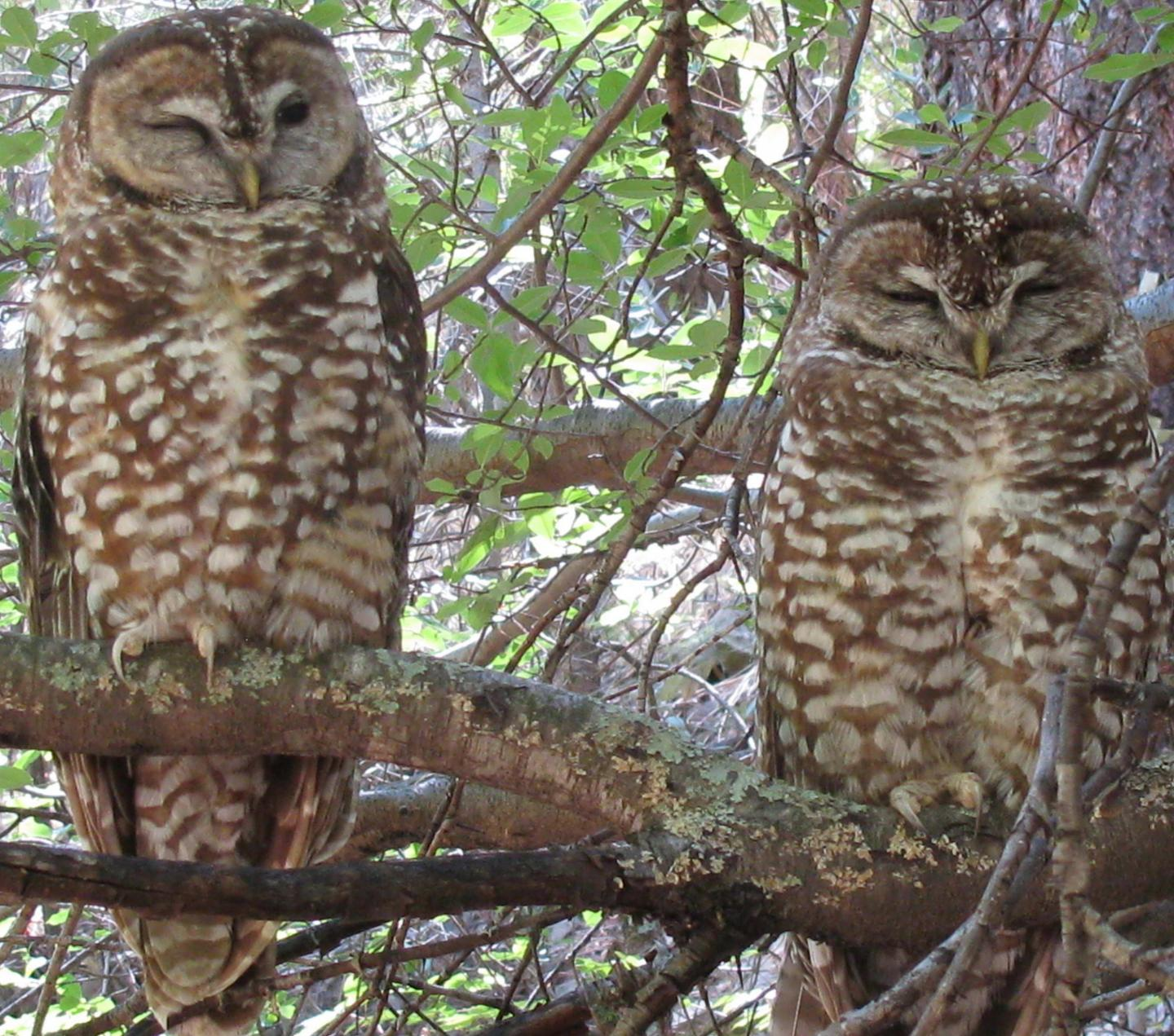 Pair of Spotted Owls