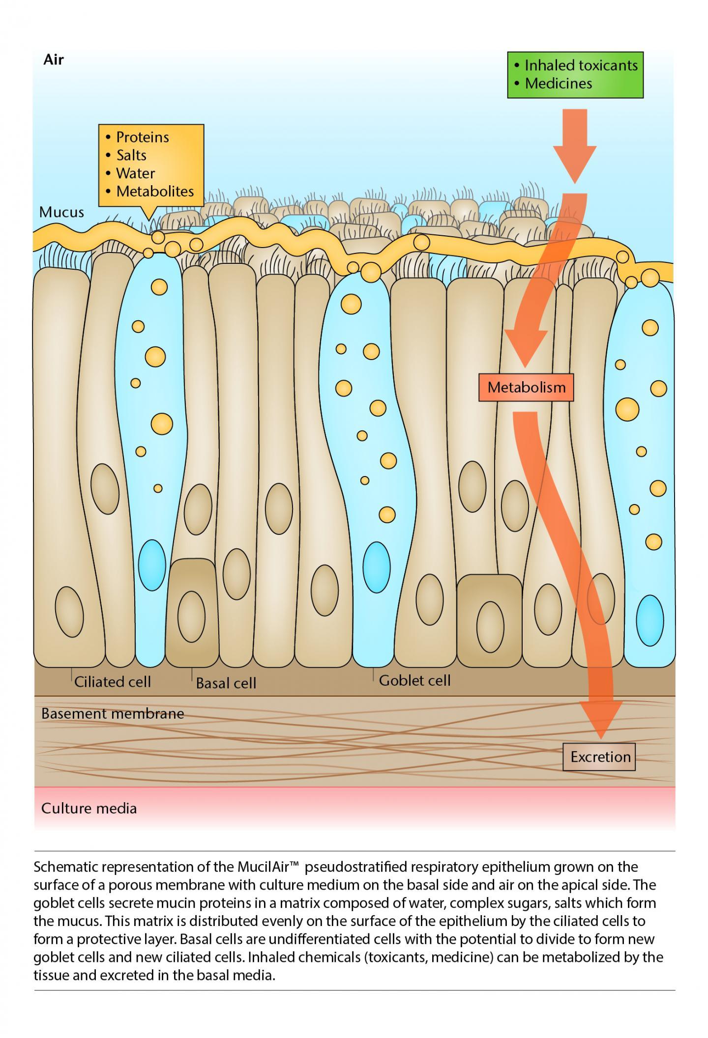 Cilia Cells