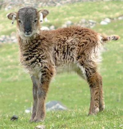 Soay Sheep Lamb