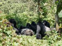 Grauer's Gorilla Group
