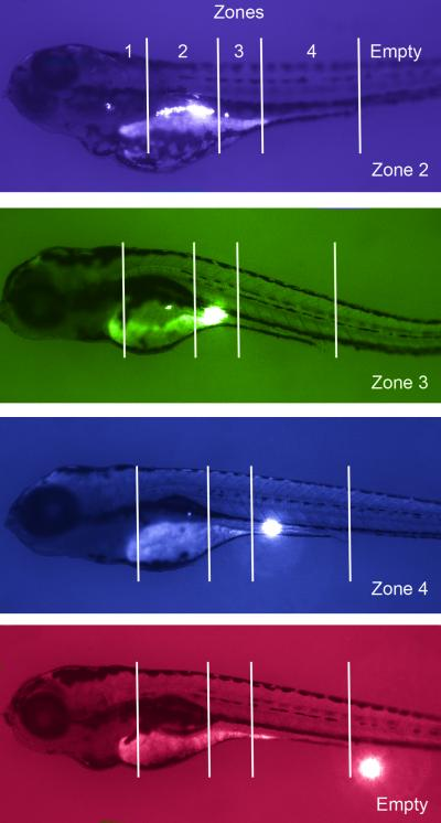 Zebrafish Models Replicating CHD8 Mutation