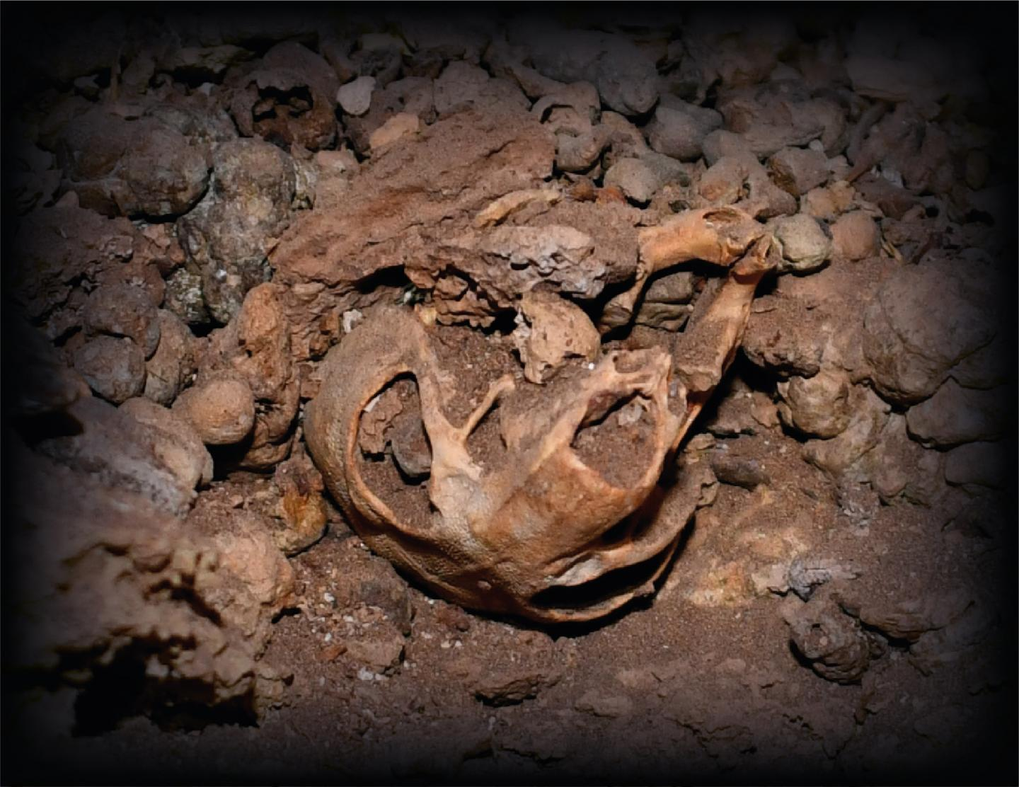 A skull of the Dead Sea crested rat subspecies