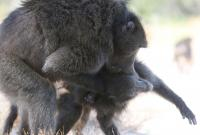 Male Baboon Attacking a Female