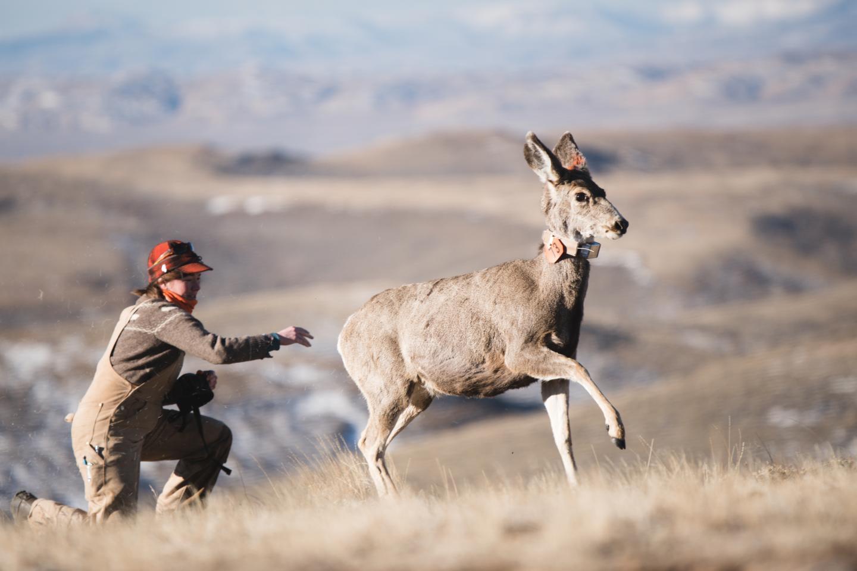 Mule Deer Release