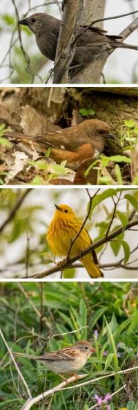 Cowbirds and Their Hosts