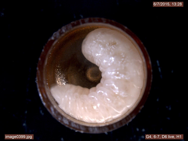 Healthy Larvae