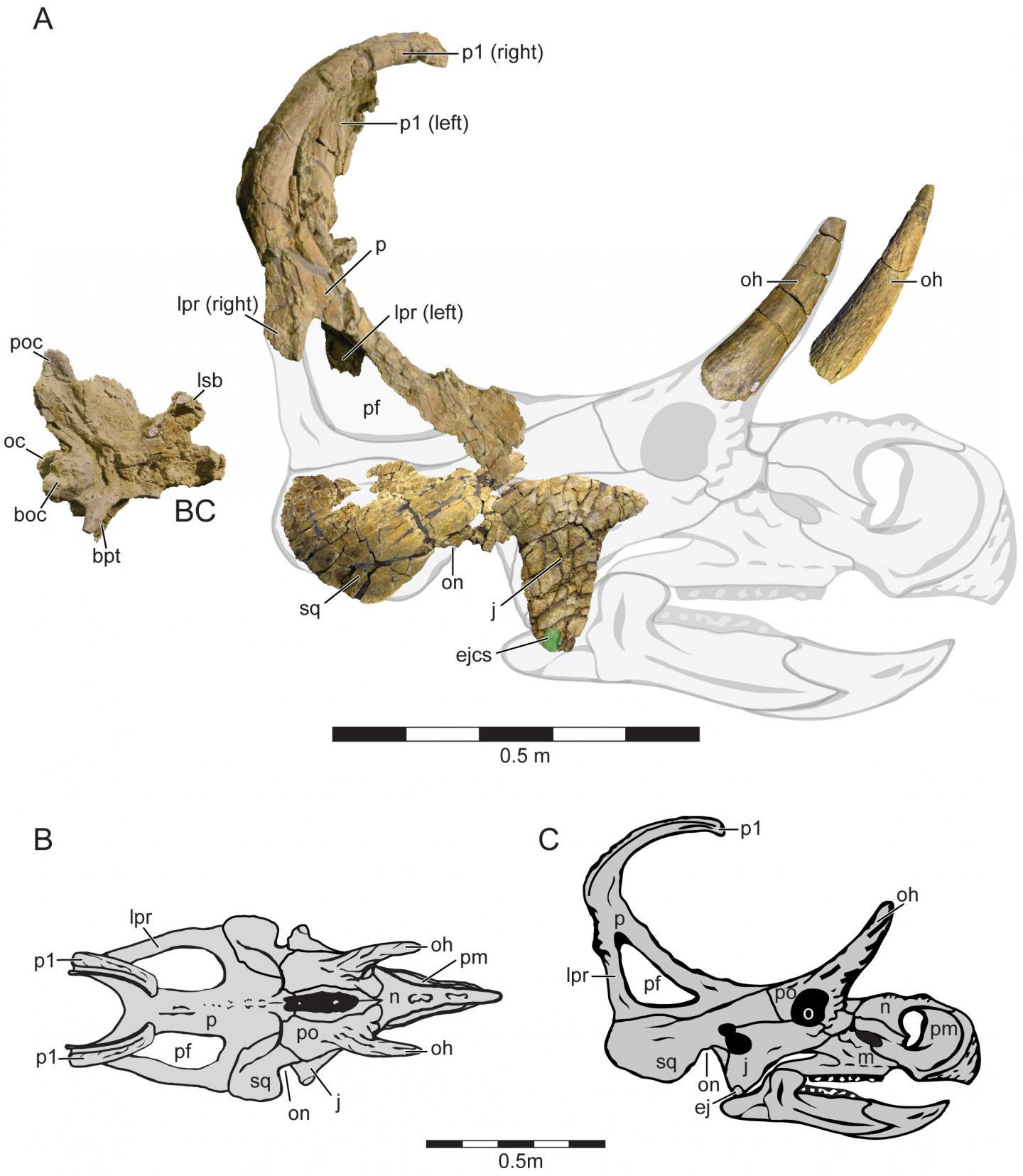 A New Centrosaurine Ceratopsid