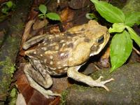 A Cane Toad