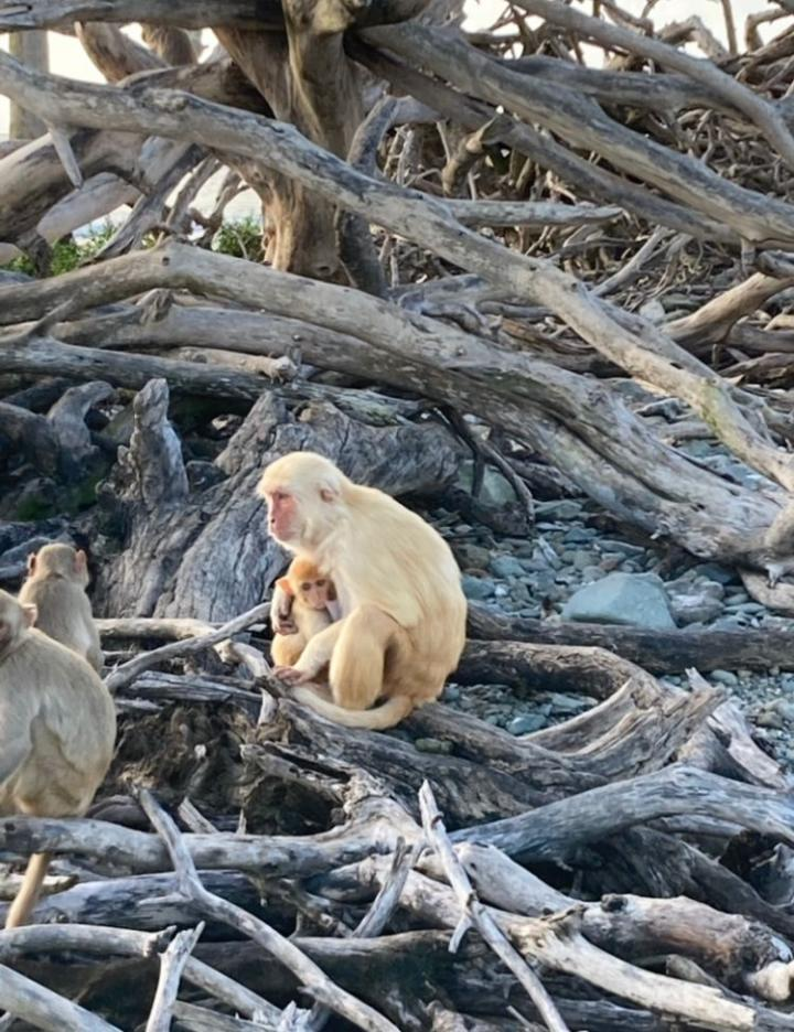 Infant and adult free-ranging rhesus macaque monkeys