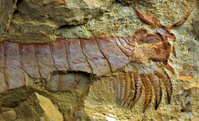 <i>Chengjiangocaris kunmingensis</i> Fuxinhuiid Fossil