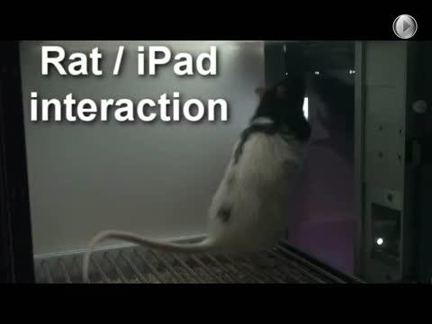 A Rat Touches a Touch Stimulus that Has Appeared in An Ipad Screen (I)