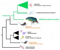 Evolutionary Tree Illustrating the Relationship of <Em>Mollisonia</em> to Other Arthropods