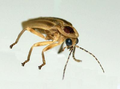 A Firefly Specimen