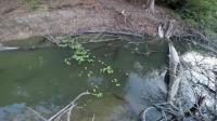 Electric eels shocking prey in coordination