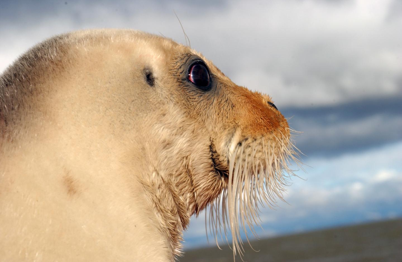 Bearded seal face closeup