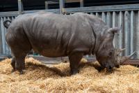 The Southern White Rhino Makena
