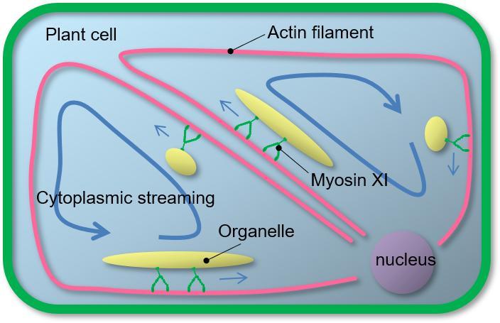 Cytoplasmic Streaming