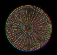 Diatom Arachnoidiscus