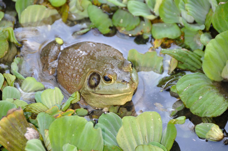 A Deadly Fungus Afflicting Amphibians Arose in Korea, Spread Via Human Trade (1 of 1)
