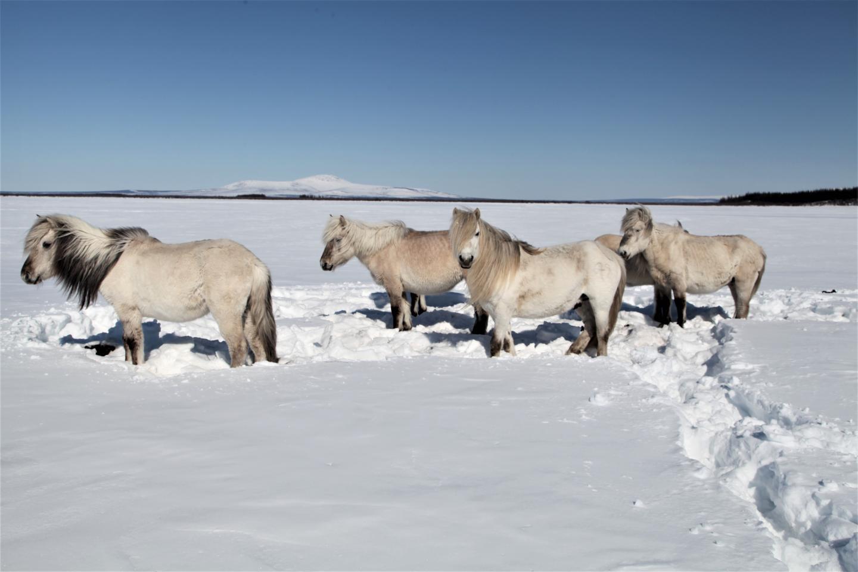 Horses at Pleistocene Park