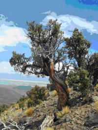 Ancient Trees are Sensitive to Climate Anomalies